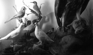 The taxidermy room at the Rossendale Museum
